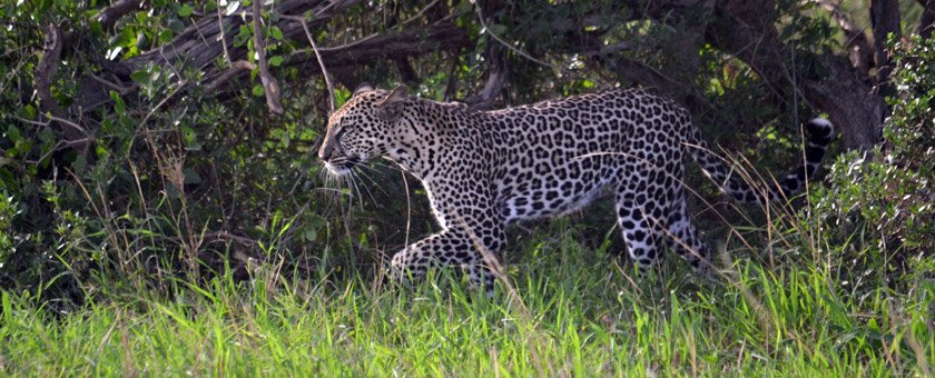 Safari Kenya Marea Migratie - septembrie 2020 - cu Andreea Maftei